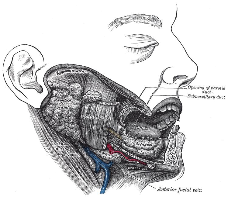 Introduction To Phonetics Week 2 The Vocal Tract Pdf