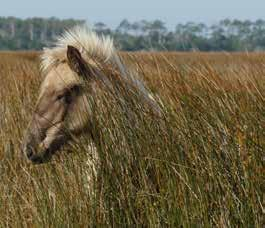 The horses are on private lands on Cedar Island, and all have been
