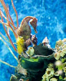 The male seahorse is equipped with a front-facing pouch, in which the female seahorse deposits up to 1,500 eggs.