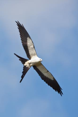 Unlike most of the migratory birds that arrive in Florida, the swallow-tailed kite comes up from Central and South America during the summer. In effect, Florida is its northern breeding grounds.